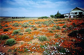 Spring flowers attract visitors to Loeriesfontein in August and September