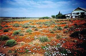 Loeriesfontein - Spring flowers attract visitors to Loeriesfontein in August and September