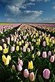 Flowers fields in Texel - panoramio (1).jpg