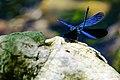 Fly, blue dragonfly.jpg
