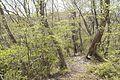 Forest in Mt.Myo 05.jpg