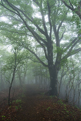 Forest in Tanzawa 08.jpg