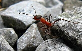 Formica rufa - Patrolling Formica rufa