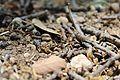 Formiga no meio duns pauzinhos no chão dum campo de Quintanar de la Orden - 1.jpg