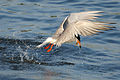 Forsters tern (5967696217).jpg