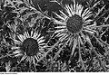 Fotothek df ps 0000901 001 Korbblütler (Compositae, Asteraceae). Stängellose Eberwurz.jpg