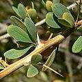 Fouquieria columnaris 1.jpg