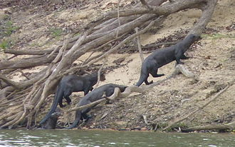 Giant otter - A group of four giant otters emerging from the water to patrol a campsite on the riverbank at Cantão State Park