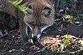 Fox Close Up (6371193319).jpg