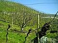 Frühling Weinreben und Früchte - panoramio.jpg