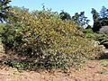 Fremontodendron californicum Californian Glory kz7.jpg