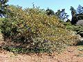 Fremontodendron californicum Californian Glory kz7.jpg