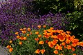 Friday Harbor Lavender and California Poppies.JPG