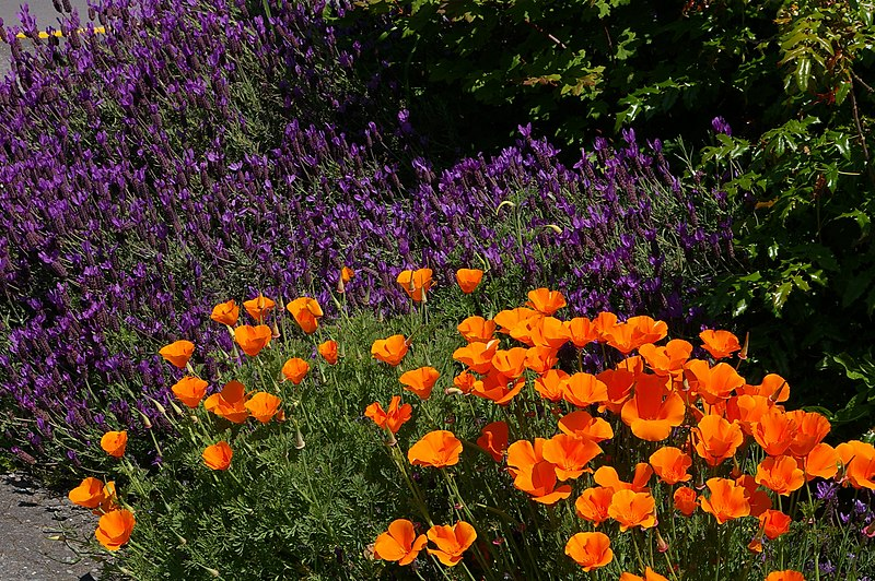 File:Friday Harbor Lavender and California Poppies.JPG