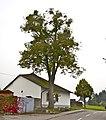 Friedhofslinde Eberschwang.jpg