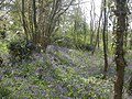 Froom's Lane, bluebells - geograph.org.uk - 1268749.jpg