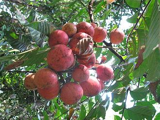Meliaceae - Fruits of Chisocheton cumingianus