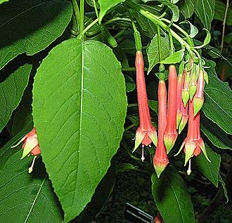 Fuchsia fulgens - Image: Fuchsia fulgens, known as Mexican Fuchsica (9533477037)