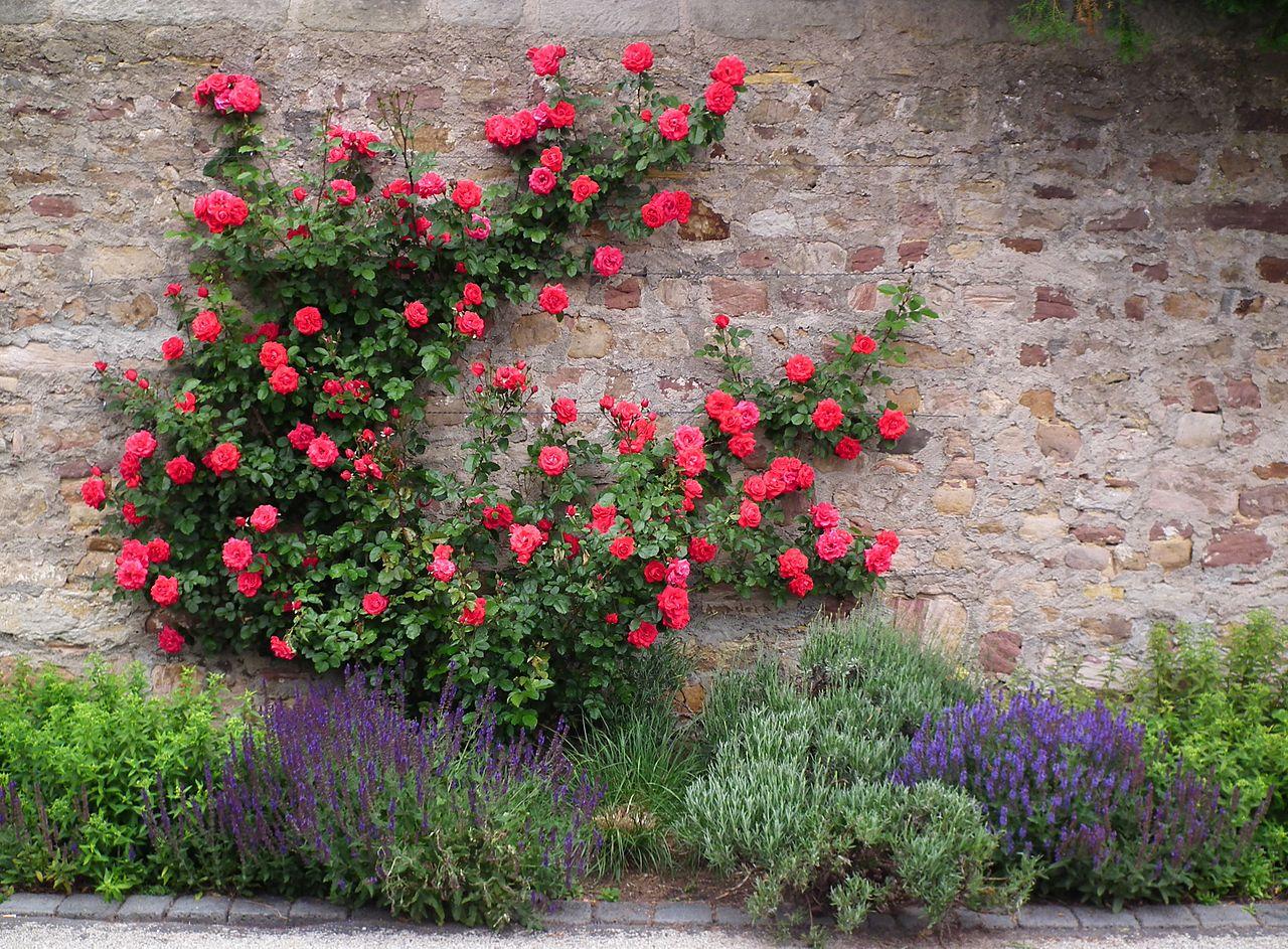 Как и когда лучше сажать плетистые розы - Ботаничка. ru 25