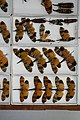 Fulgoridae Drawers - 5036100241.jpg
