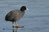 Fulica atra on ice.jpg
