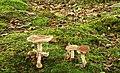 Fungus, Clandeboye Wood (10) - geograph.org.uk - 938037.jpg