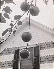 Gable and Apples MET DP232989.jpg