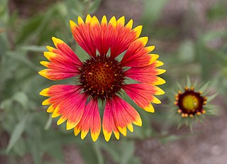 <i>Gaillardia</i> genus of plants