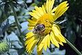 Gaillardia x grandiflora Golden Goblin 7zz.jpg