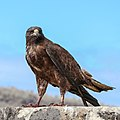 Galapagos hawk 01 (cropped).jpg