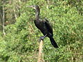 Gao Giap Bird Sanctuary Indian Cormorant.jpg