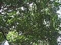 Garcinia imberti-3-chemunji-kerala-India.jpg