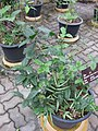 Gardenology.org-IMG 7775 qsbg11mar.jpg