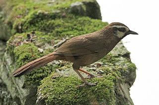 White-browed laughingthrush species of bird
