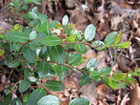 Gaylussacia brachycera wild