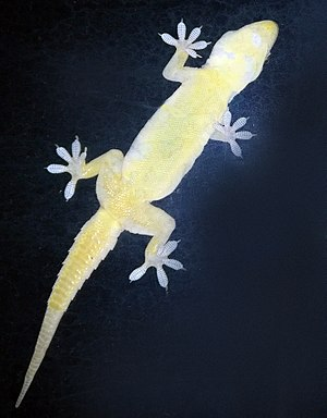 Van der Waals force - Geckos can stick to walls and ceilings because of van der Waals forces.