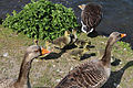Geese at Fishers Green, Lee Valley, Waltham Abbey, Essex, England 10.jpg