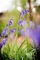 Gemeines Hasenglöckchen (Hyacinthoides non-scripta) im Naturschutzgebiet Birgeler Bach Birgeler Pützchen.jpg