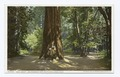 Gen. Grant, Big Redwood Tree, Santa Cruz, Calif (NYPL b12647398-62760).tiff