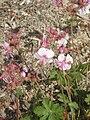 Geranium macrorrhizum white.jpg