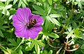 Geranium sanguineum Imvermers with a bee.JPG