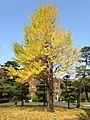Ginkgo biloba tree with yellow leaves in Hakozaki Campus, Kyushu University.jpg