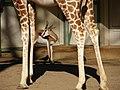 Giraf (2259097192).jpg
