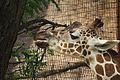 Giraffa camelopardalis at the Philadelphia Zoo 005.jpg