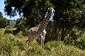 Giraffe, Tarangire National Park (37) (28611430312).jpg