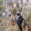Giraffe 2d (5512021607).jpg
