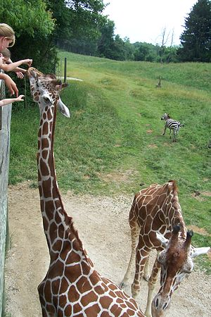 Binder Park Zoo - Giraffe feeding in Wild Africa