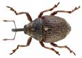 Glocianus distinctus (C.Brisout, 1870) Syn.- Ceutorhynchus marginatus (Paykull, 1792) (12559792175).png