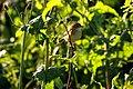 Golden-headed cisticola 1.jpg