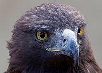 Golden Eagle 1c (6447277089).jpg